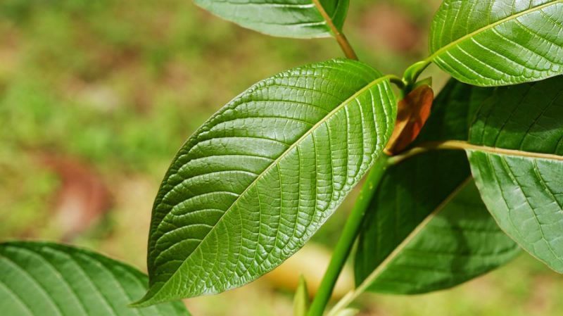 A New Danger With Kratom