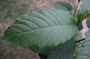Top health benefits of using kratom