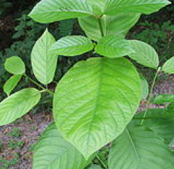 Kratom Rising: Calls To US Poison Control Centers Increase