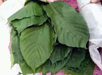 Around 1.2 tonnes of kratom leaves seized on Thai-Malaysian border in Songkhla