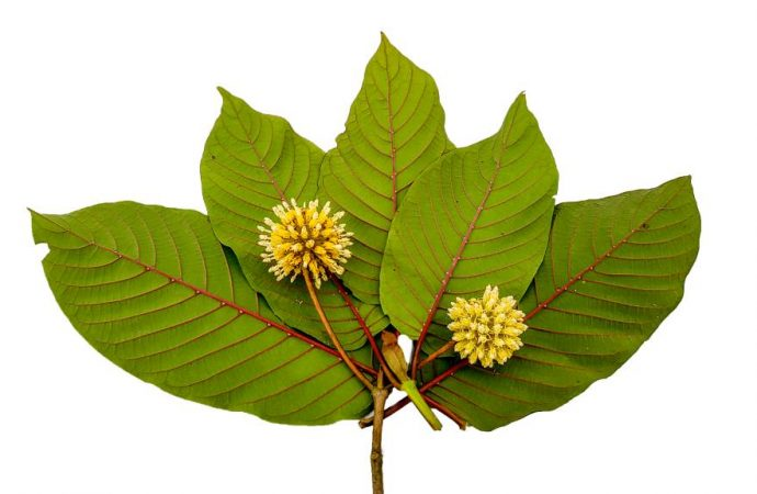 Oxford Considers Ban on Kratom Products
