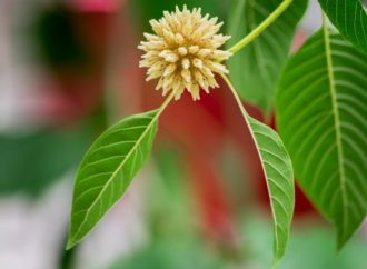 Kratom Unsafe as Herbal Supplement, Research Suggests
