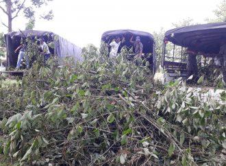 Raid destroys 800 plants on kratom farm