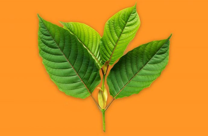What is kratom? The popular herbal supplement has caught flak from the FDA