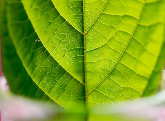 Enter Kratom: The Other Psychotropic Plant for Depression and Anxiety