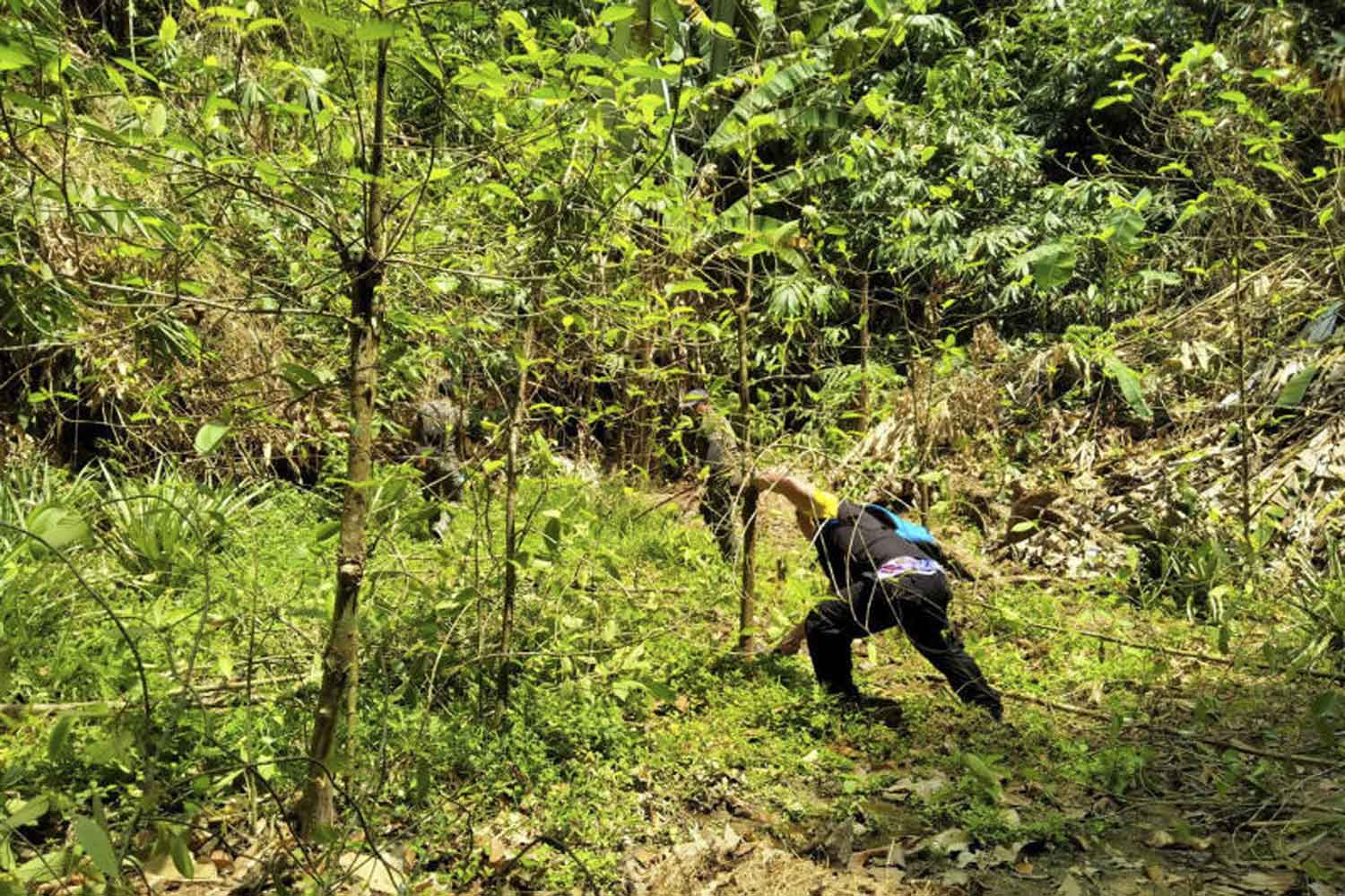 Officials are cutting kratom trees in Kapong district of Phangnga in March. (Photo by Achadtaya Chuenniran)