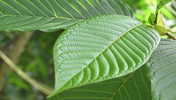 White Borneo Kratom: A Natural Mood Booster