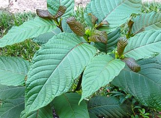 Kratom a step closer to legalisation for medicinal use